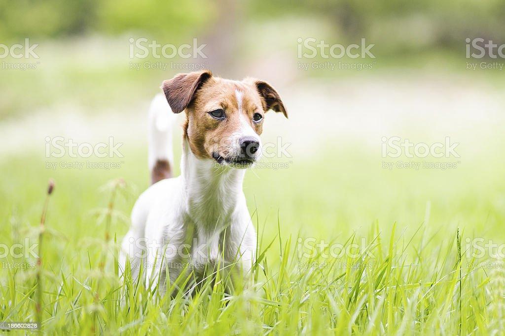 Danish-Swedish Farm Dog stock photo
