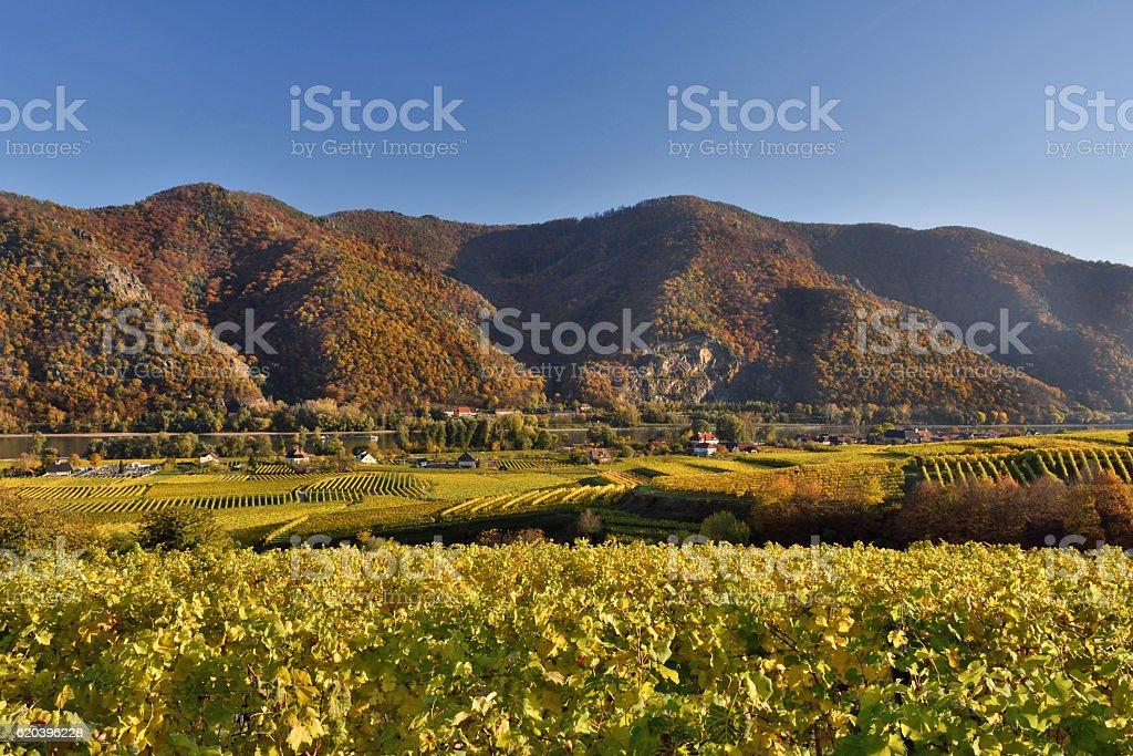 Danube and Wachau vineyards in fall stock photo