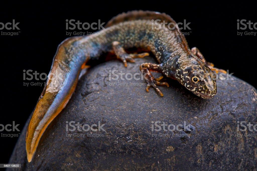 Danube newt  (Triturus dobrogicus) stock photo
