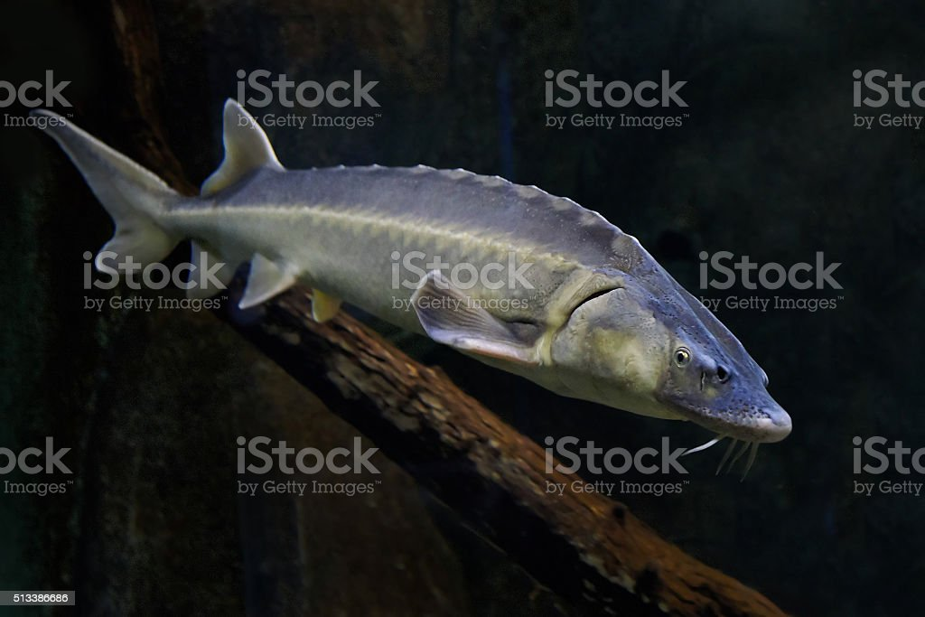 Danube sturgeon (Acipenser gueldenstaedtii) stock photo