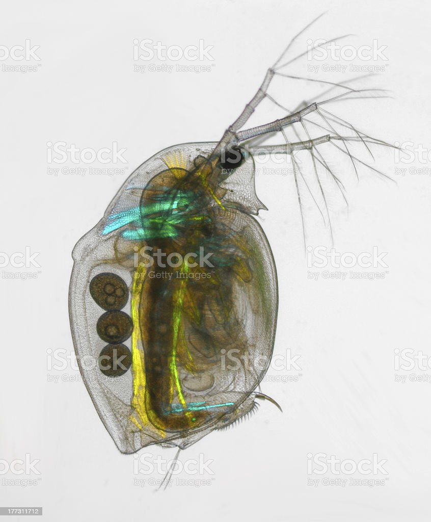 Daphnia pulex - water flea polarized light royalty-free stock photo