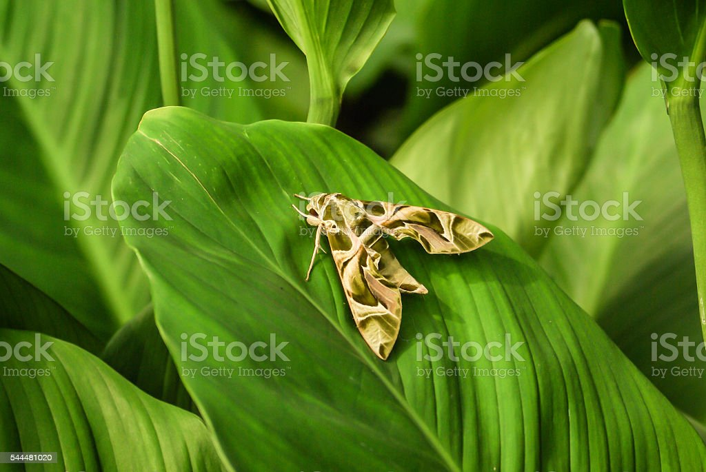 Daphnis nerii, army green moth stock photo