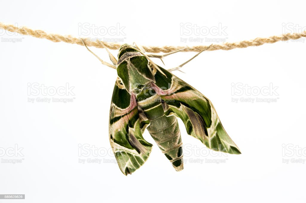 Daphnis nerii, Butterfly fat green body feathers hanging on rope stock photo