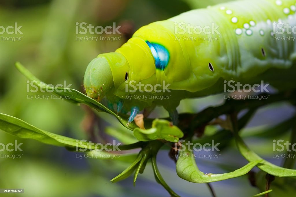 Daphnis nerii Caterpilla stock photo