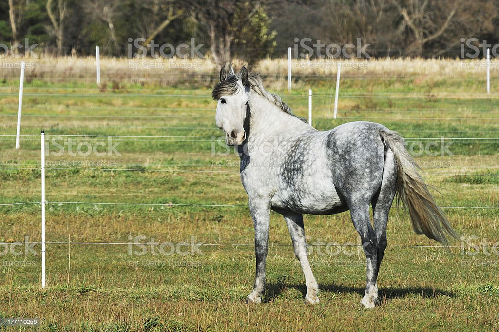 Dapple Gray stock photo