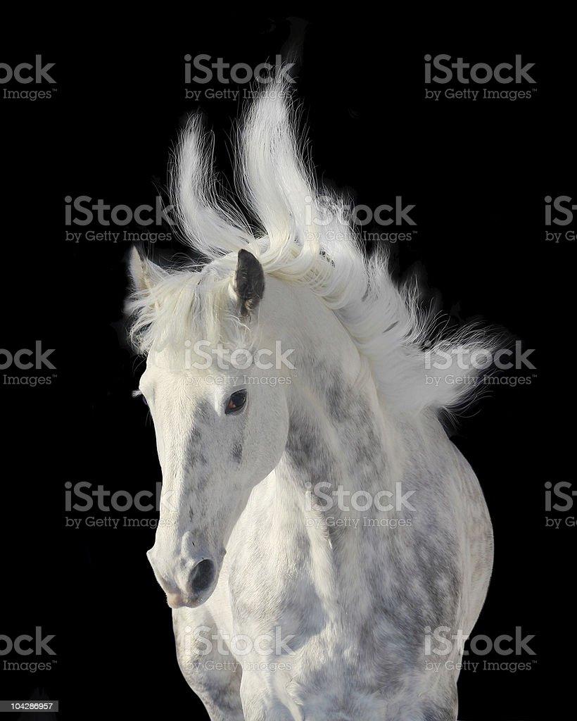 dapple gray stallion stock photo