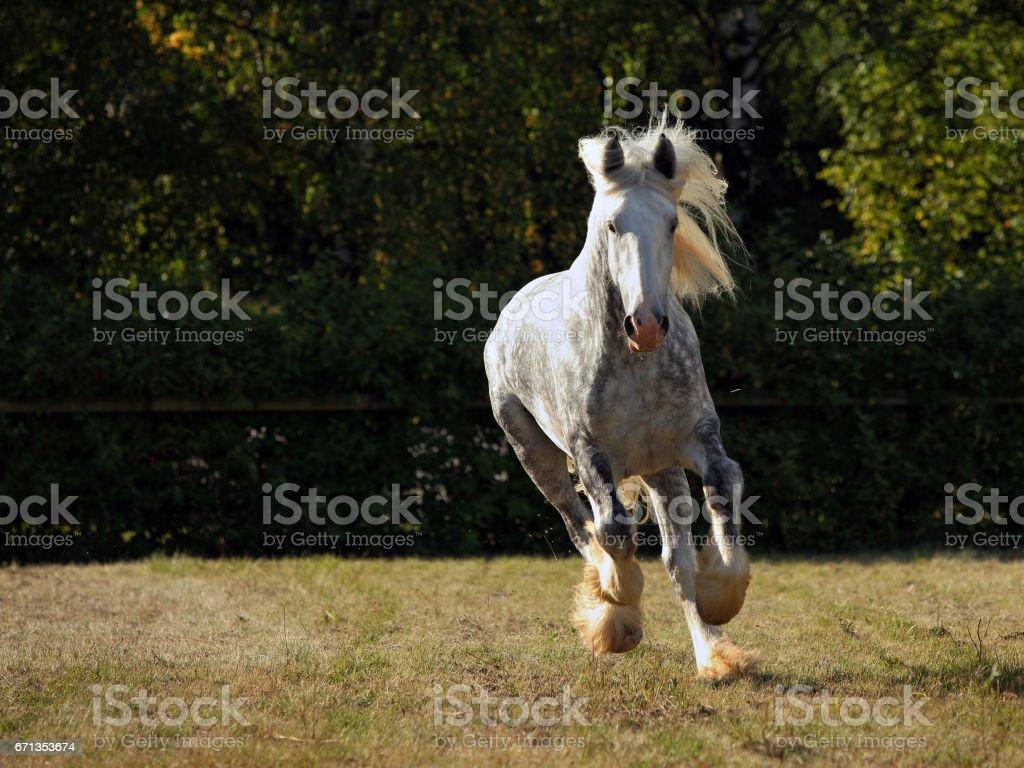 Dapple grey drum horse stallion runs gallop stock photo