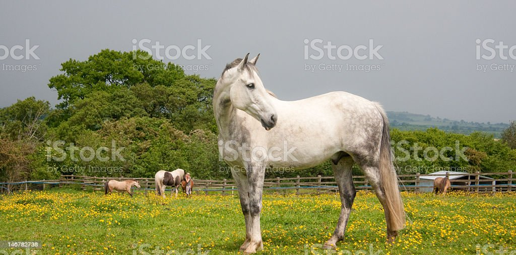Dapple grey horse standing in england countryside royalty-free stock photo