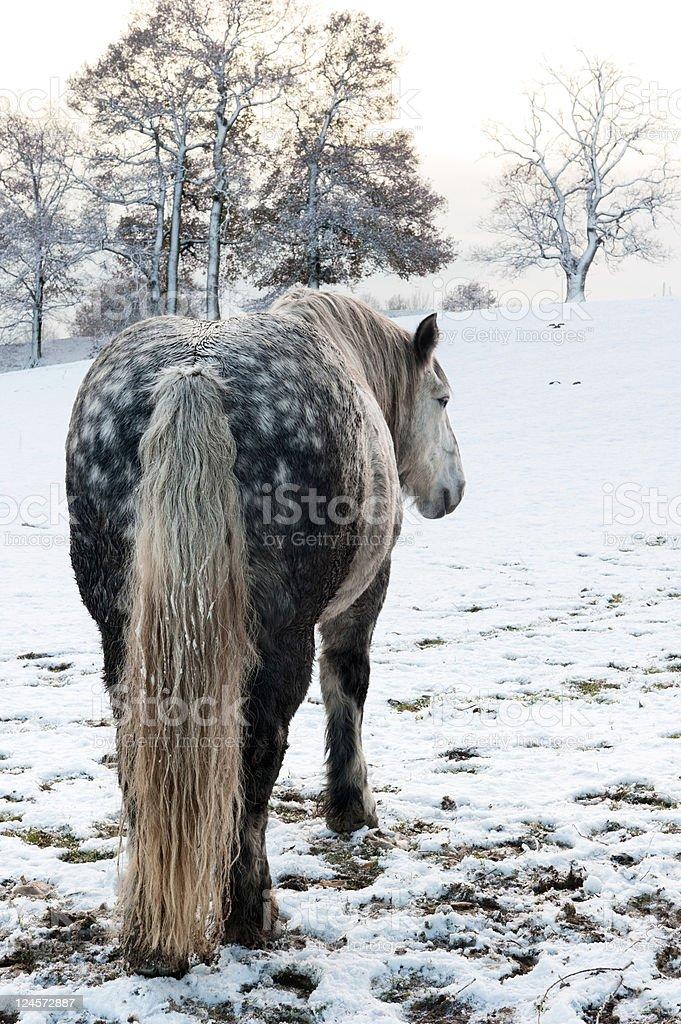 Dapple horse royalty-free stock photo