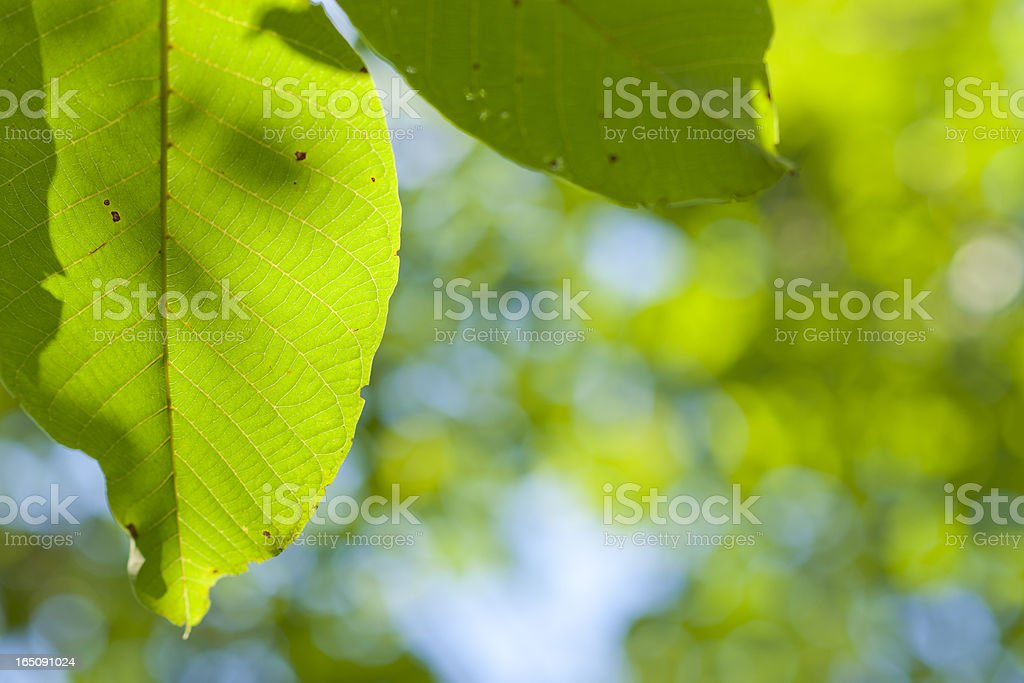 Dappled Green Leaves Backlit by Sunlight in Nature with Copyspace royalty-free stock photo