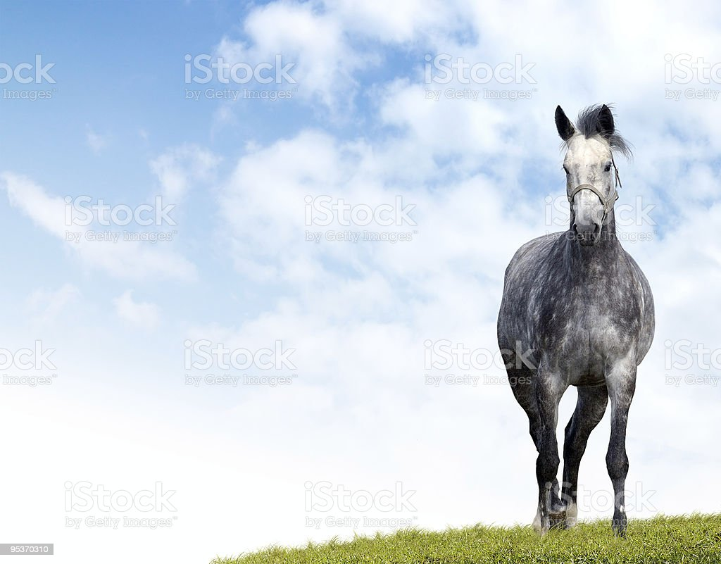 dappled grey horse stock photo