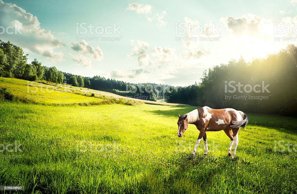 Dappled horse on a meadow stock photo