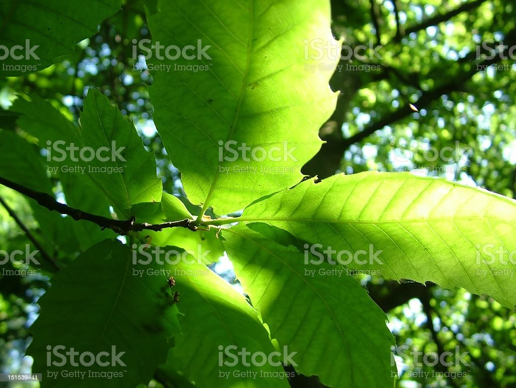 Dappled light through woodland leaves royalty-free stock photo