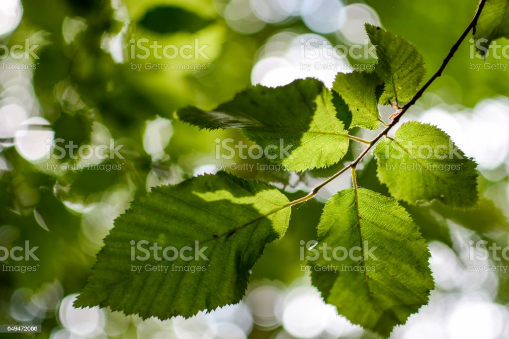 Dappled Sunlight Leaf Detail stock photo