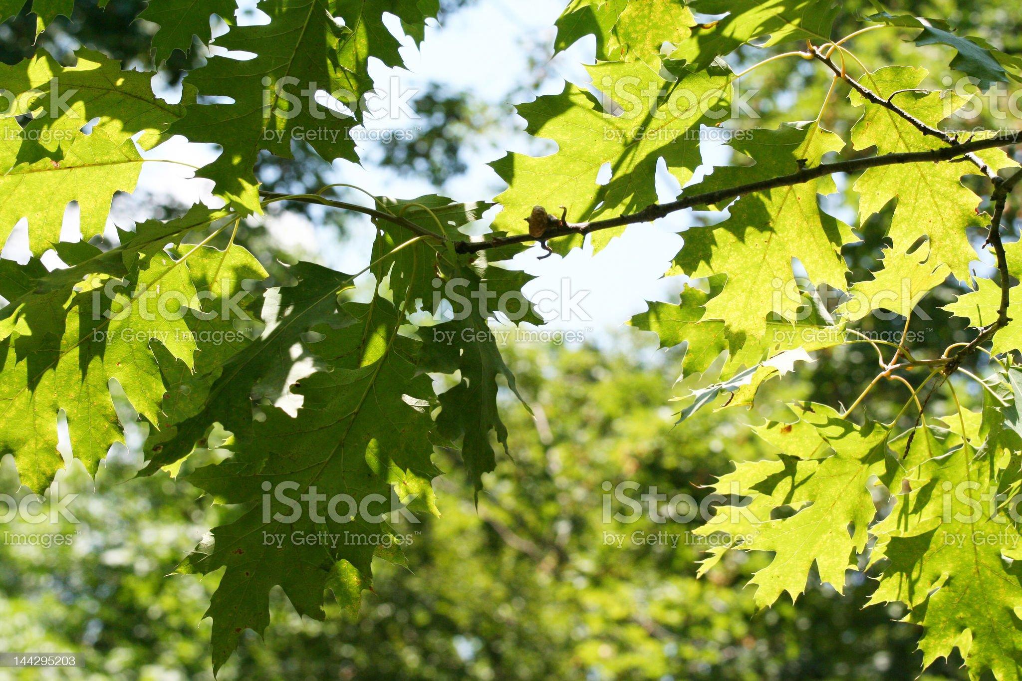 Dappled, sunlit Oak leaves royalty-free stock photo
