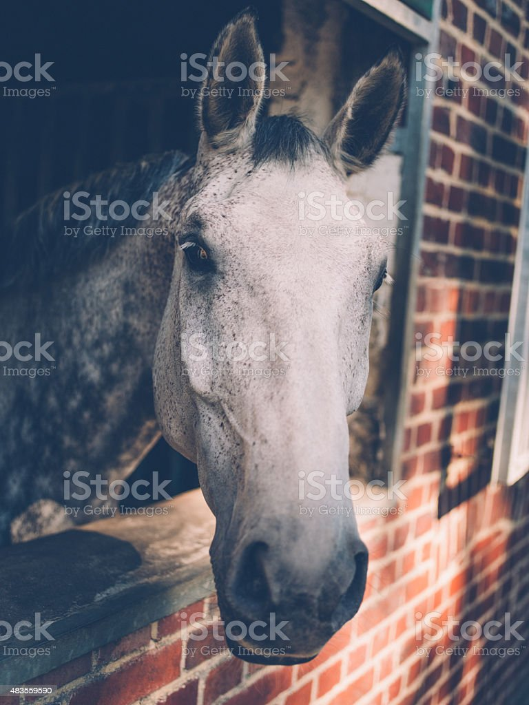 Dappled white and grey horse leaning out of stable stock photo
