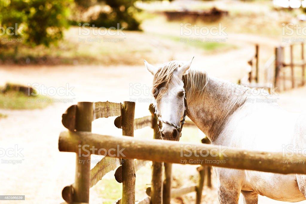 Dapple-gray horse in split-pole enclosure looks round royalty-free stock photo