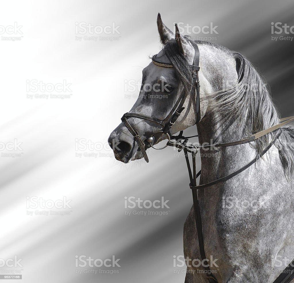 dapple-grey arabian horse stock photo