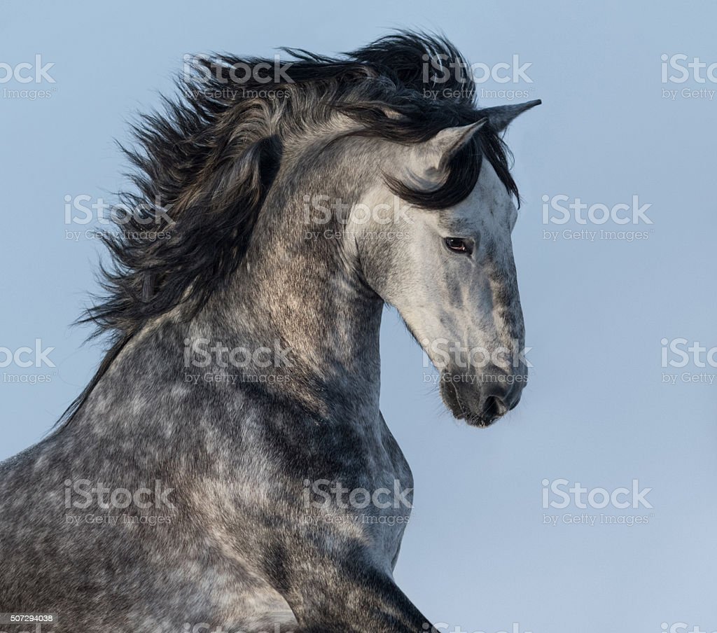 Dapple-grey Spanish horse - portrait in motion stock photo