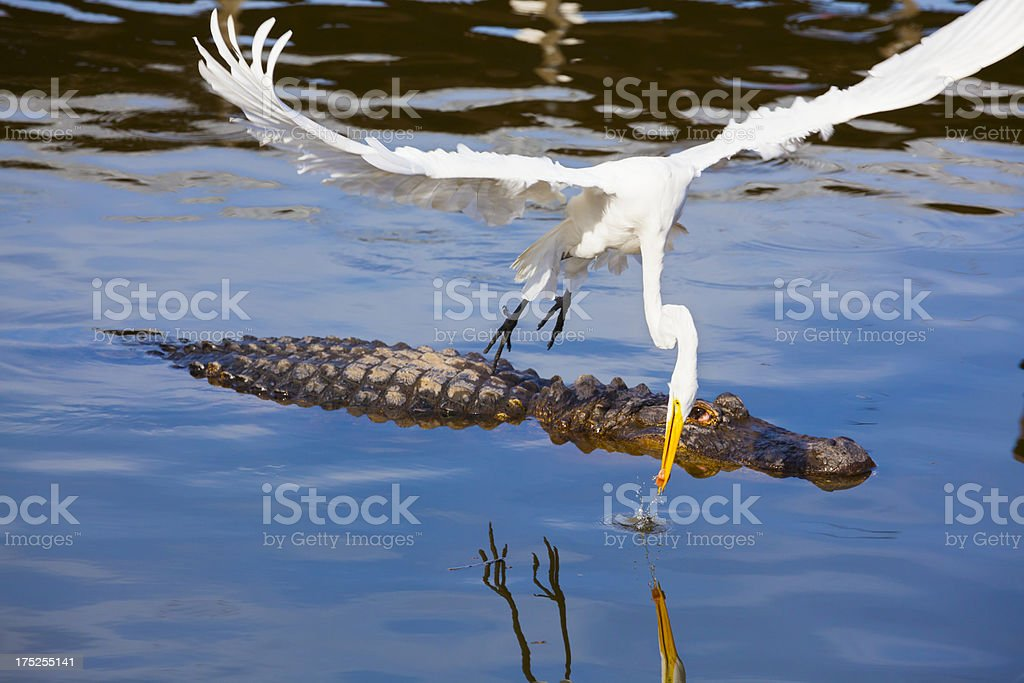 Daring Egret Bird Steals Food From Hungry Alligator royalty-free stock photo