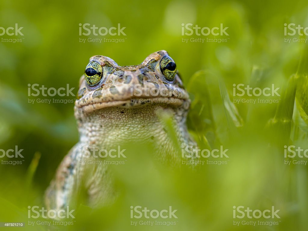 Daring Green toad in Grass stock photo