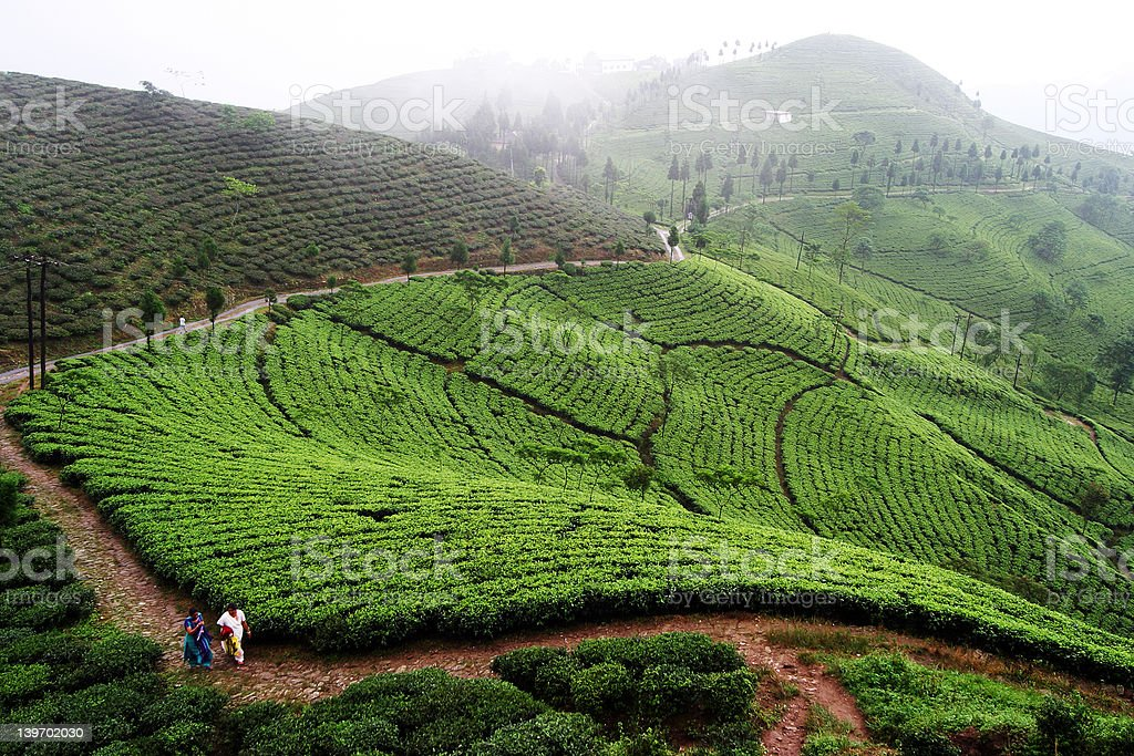 Darjeeling mountain tea plantation - colour stock photo