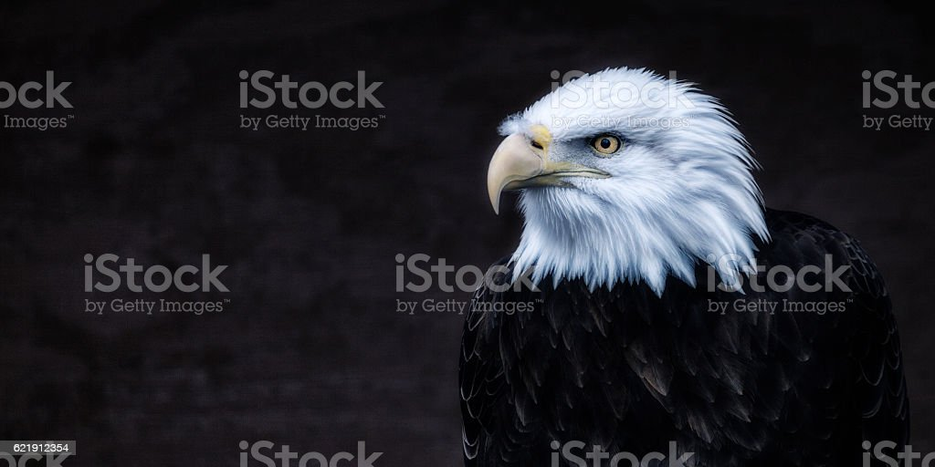 Dark American Bald Eagle Looking Left stock photo
