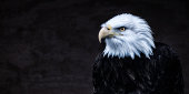 Dark American Bald Eagle Looking Left