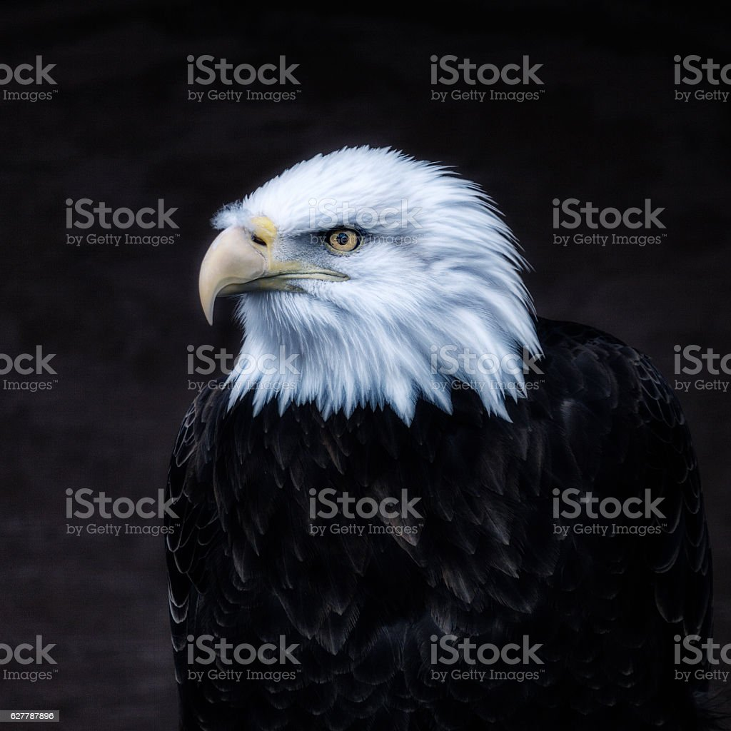 Dark American Bald Eagle Portrait stock photo