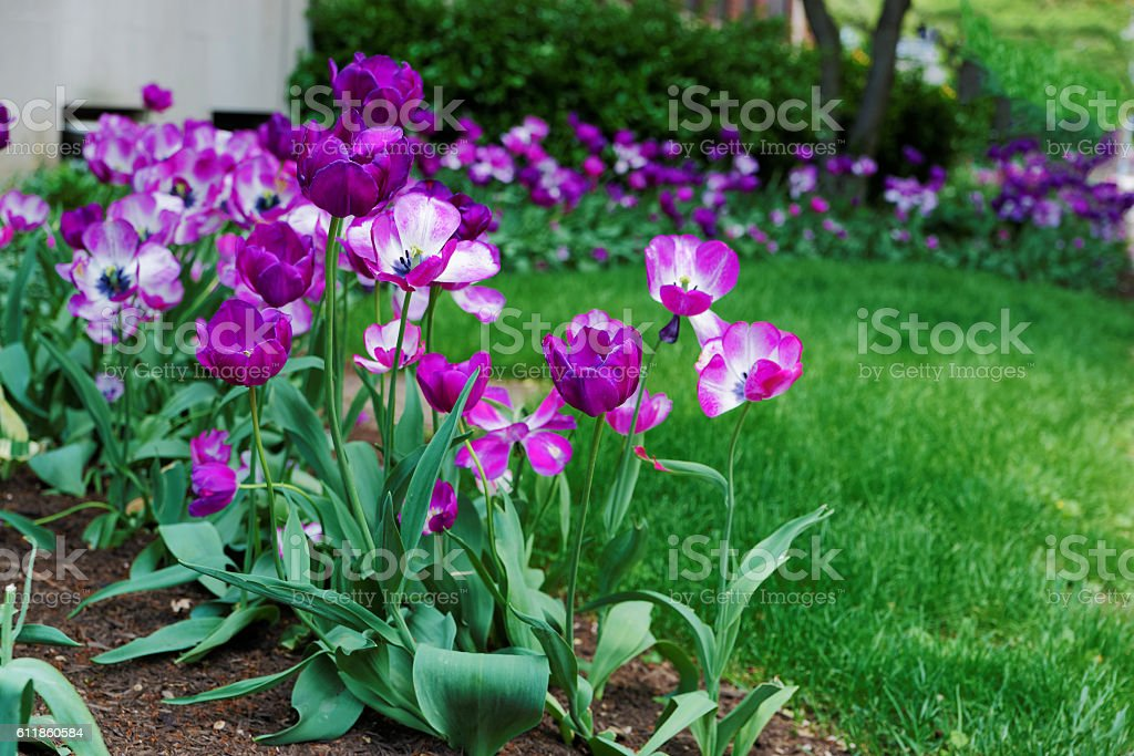 Dark and light purple tulips in a flowerbed stock photo