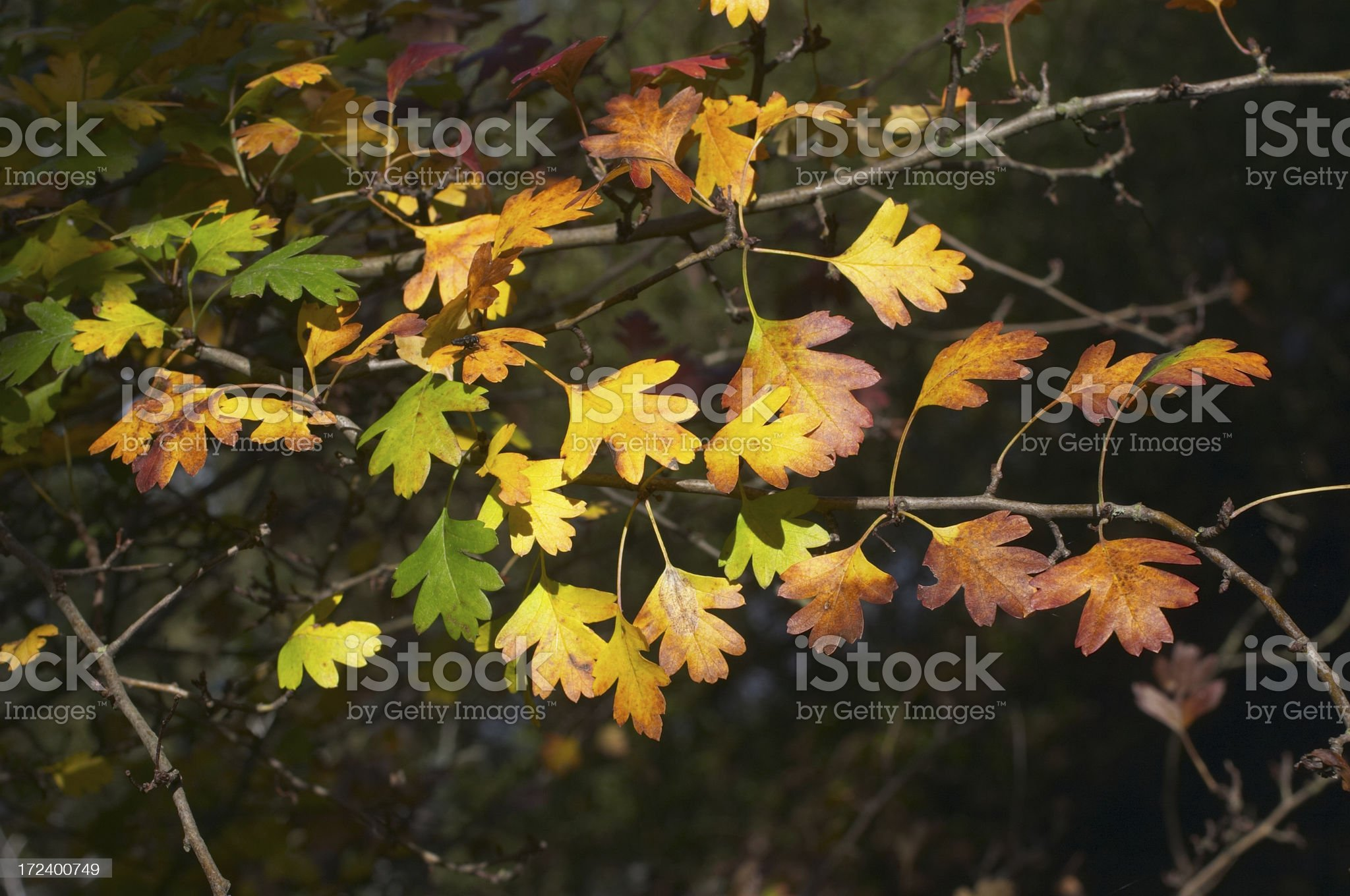Hawthorn leaf colours pop royalty-free stock photo