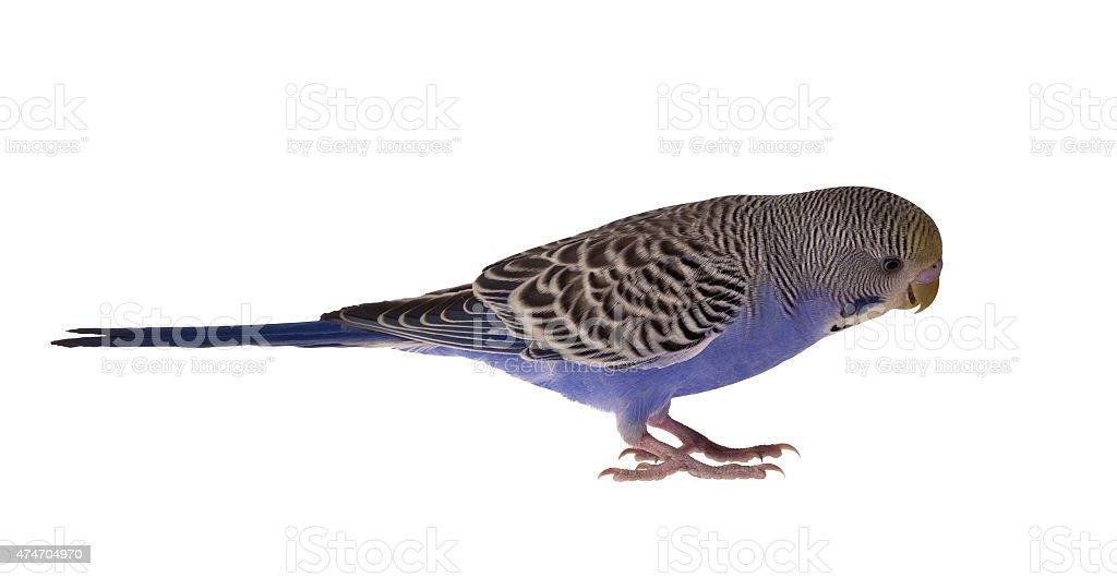 dark blue budgerigar isolated on white stock photo