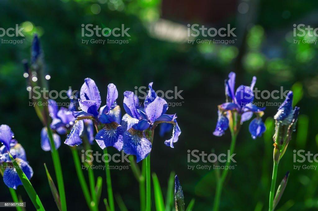 Dark blue irises blossoming in a garden. stock photo