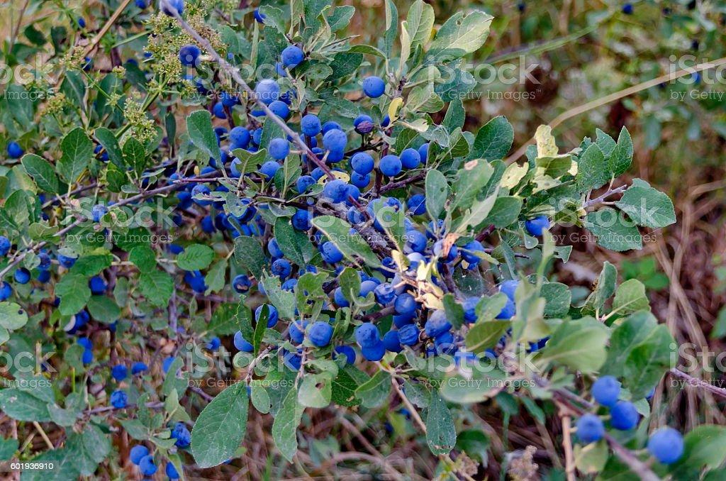 Dark blue ripe sloe fruit on branches of blackthorn stock photo
