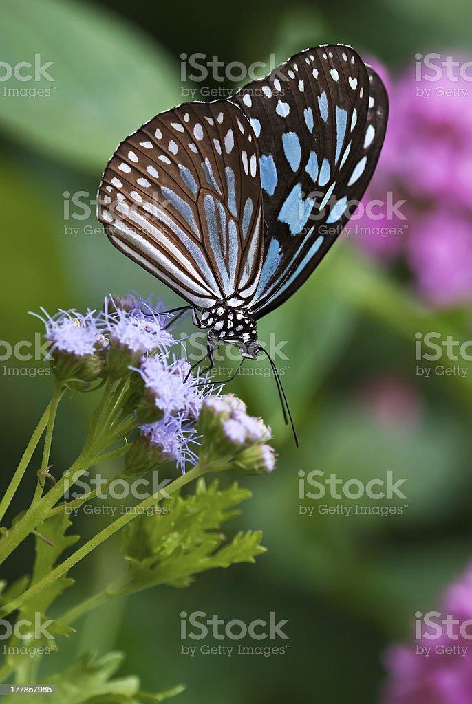 Dark Blue Tiger (Tirumala septentrionis) butterfly royalty-free stock photo