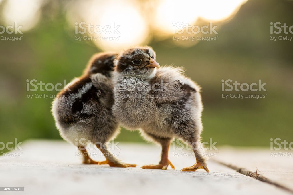 Dark brahma baby chicks royalty-free stock photo