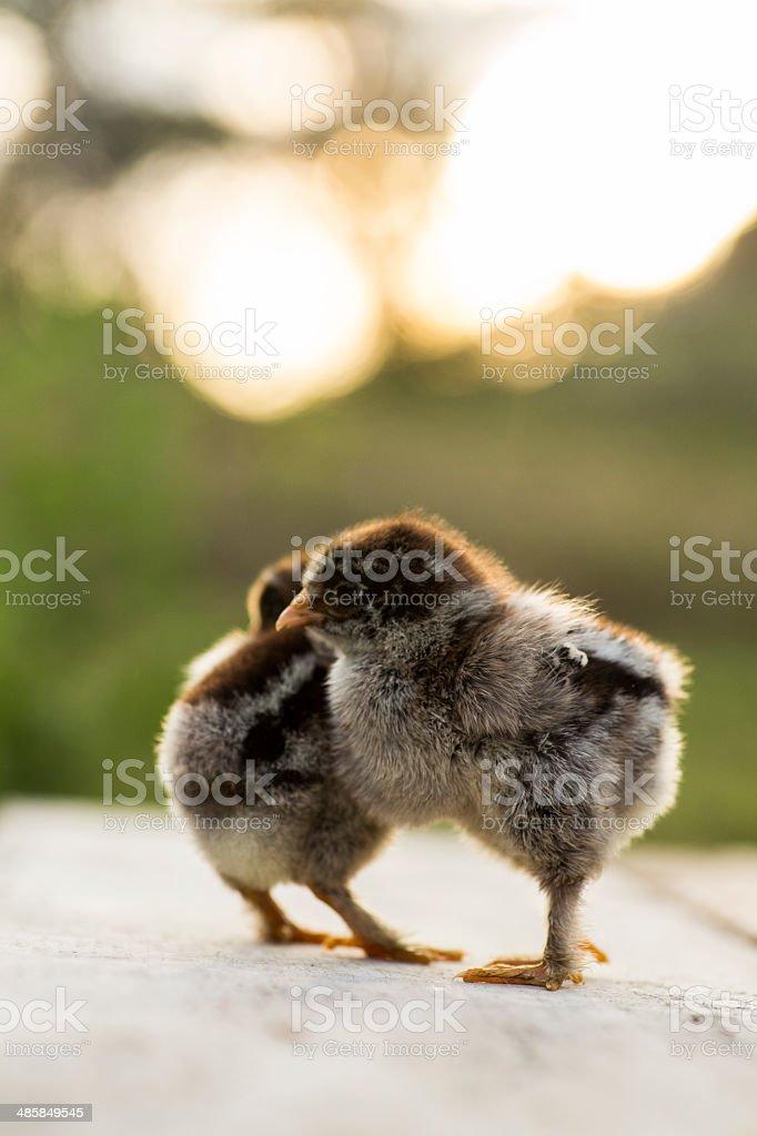 Dark brahma baby chicks royalty-free stock photo