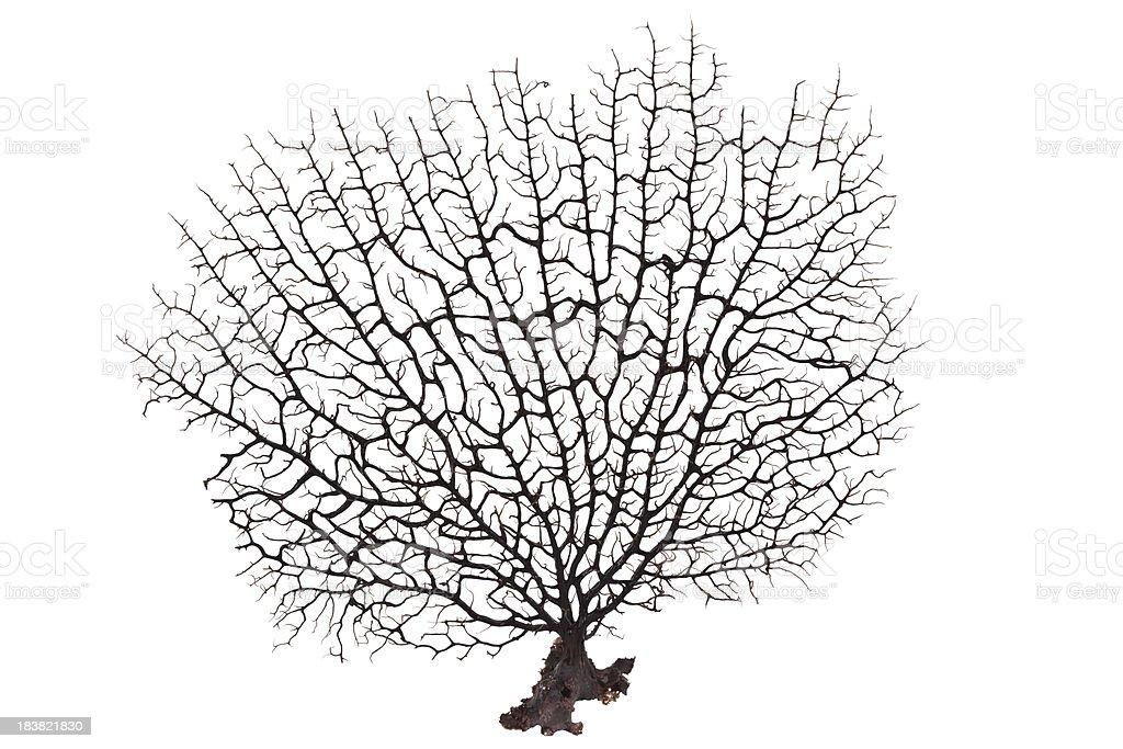 Dark brown coral on a plain white backdrop royalty-free stock photo