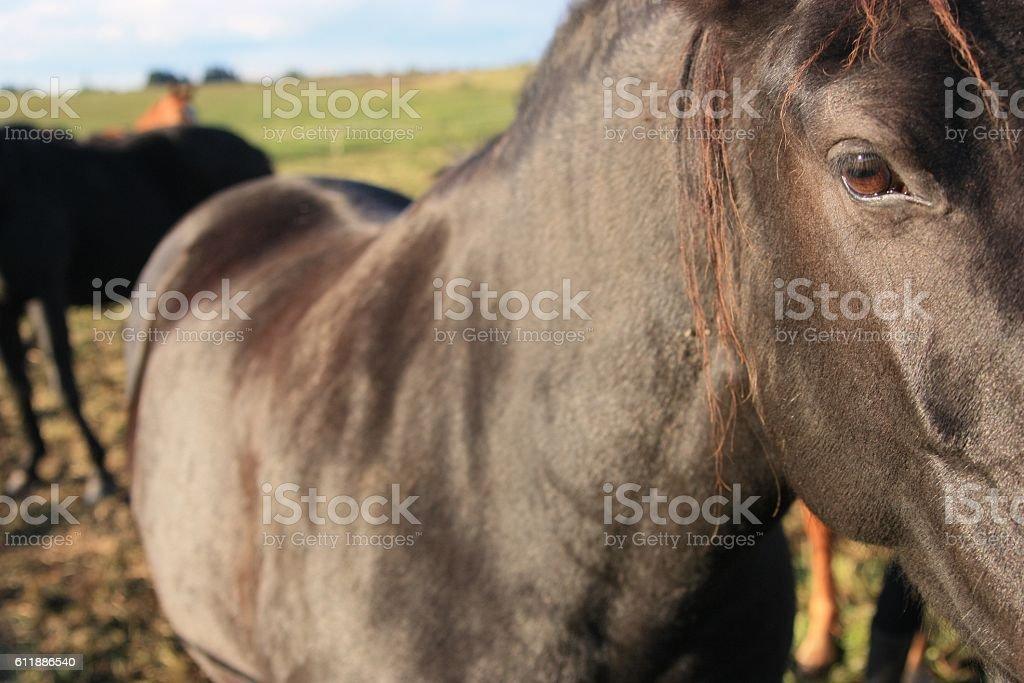 Dark brown horse stock photo