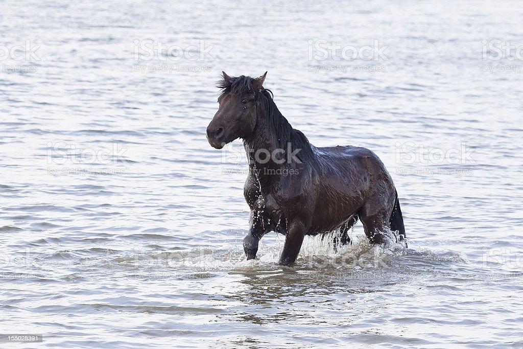 dark brown horse swimming royalty-free stock photo