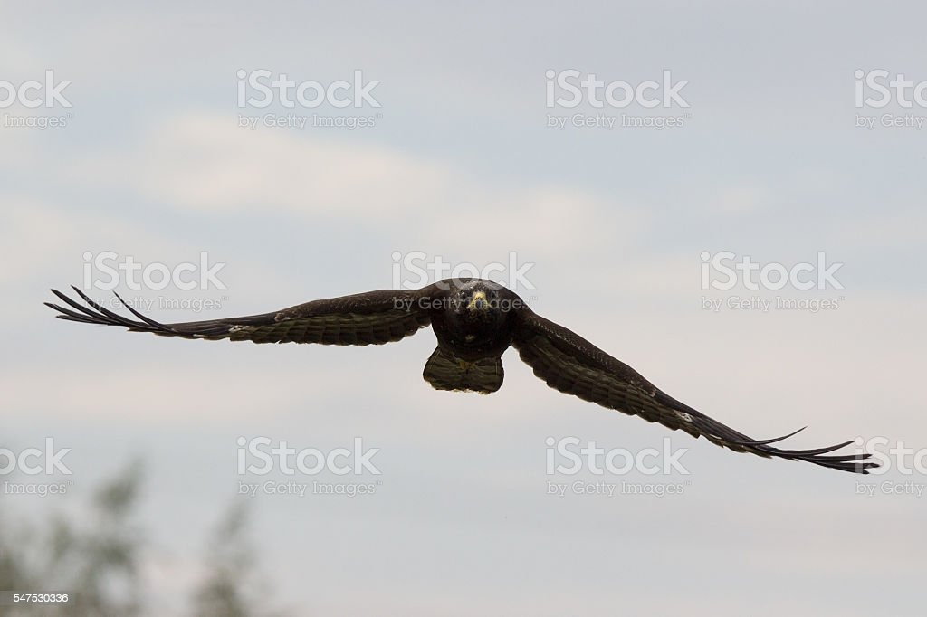 Dark brown juvenile Honey buzzard in flight towards the camera stock photo