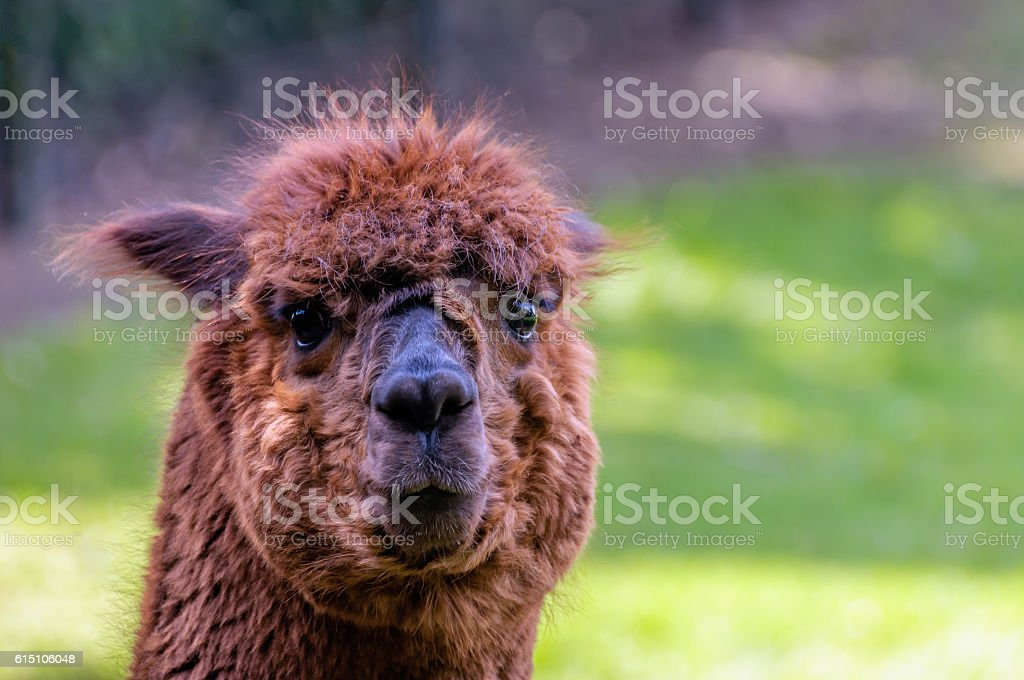 Dark brown llama with big glistening eyes from close stock photo