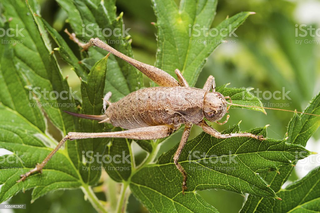 dark bush-cricket (Pholidoptera griseoaptera) stock photo