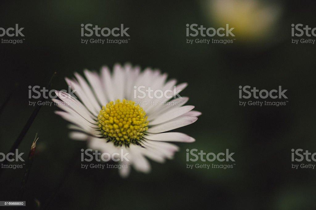 Dark daisy stock photo