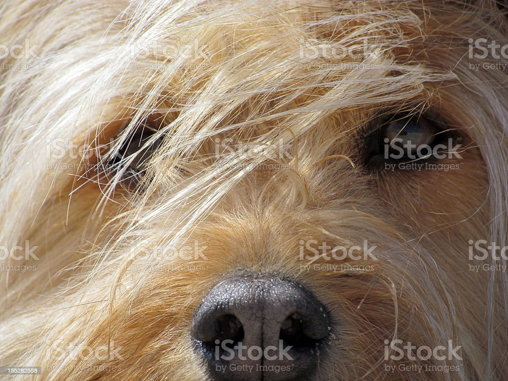 Dark Dog Eyes royalty-free stock photo