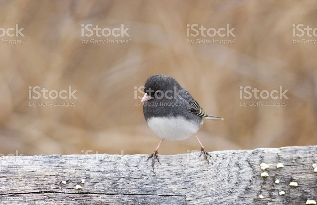 Dark Eyed Junco Bird Perched stock photo