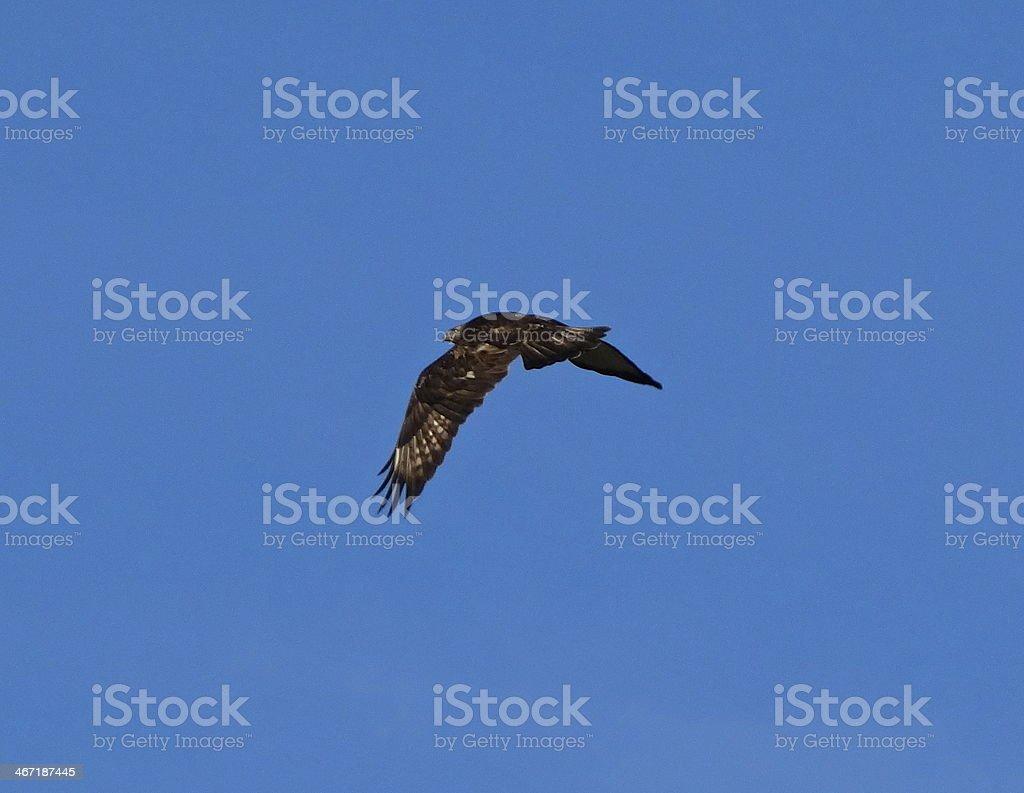 Dark Ferruginous Flight stock photo