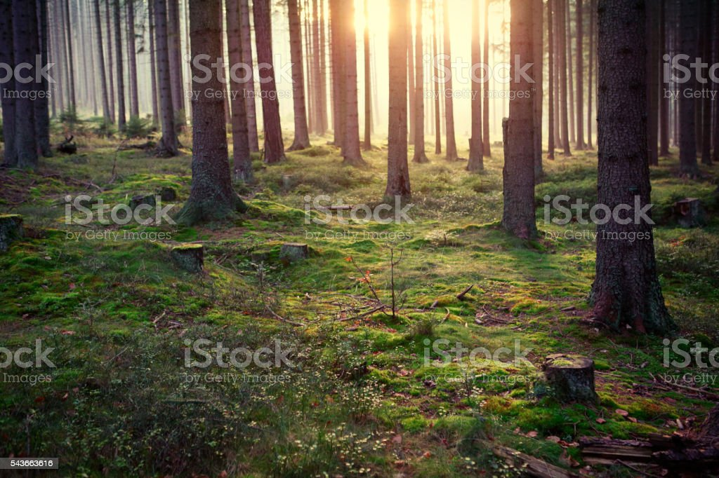 Dark forest in sunset light stock photo