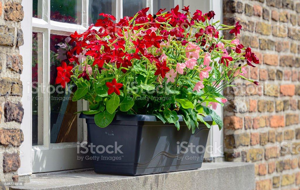 Dark gray plastic flowerpot with flowering petunia plants stock photo