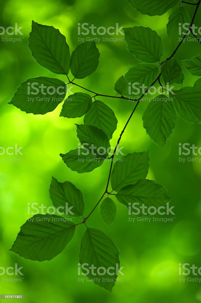 Dark Green beech leaves in shadow royalty-free stock photo